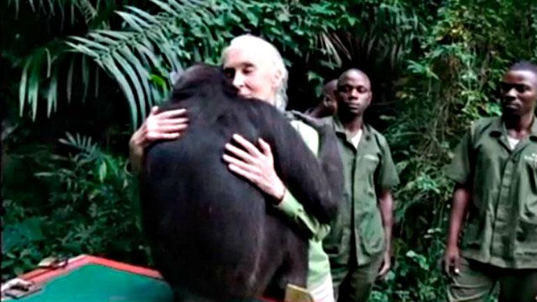 video-vea-el-emocionante-abrazo-de-una-chimpance-a-la-mujer-que-la-salvo