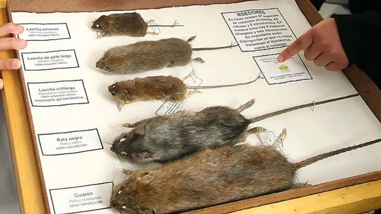 hanta-virus-ratones
