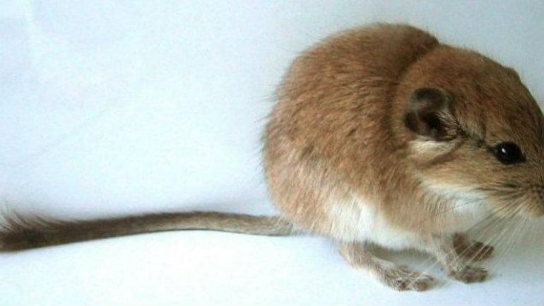 roedor-de-chubut-540x372