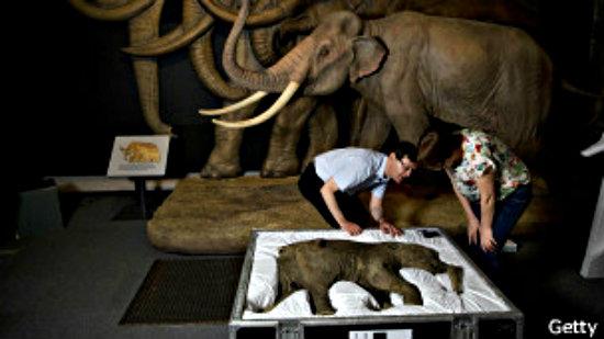 Los expertos del Museo de Historia Natural se emocionaron al abrir la caja en que viajó Lyuba.