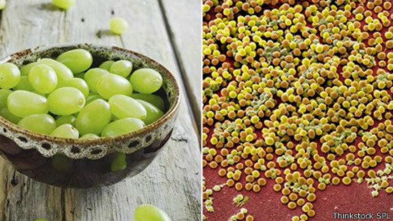 Las bacterias pueden crecer a veces en racimos parecidos a las uvas.