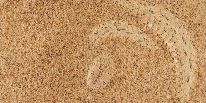 Segundo premio Biología evolutiva: Bitis peringueyi, una especie de víbora venenosa camuflada en el desierto del Namib